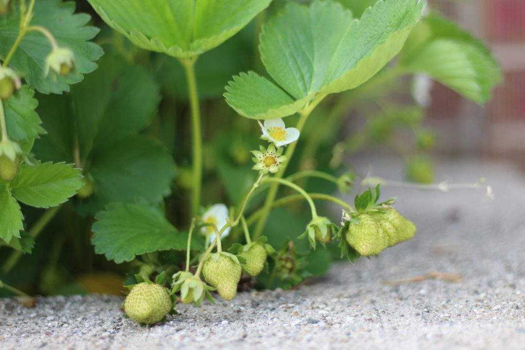 green strawberries growing on plant